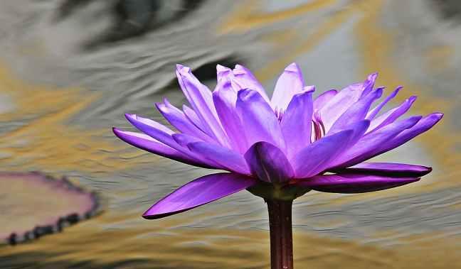 water-lily-nuphar-lutea-aquatic-plant-blossom-158551.jpeg